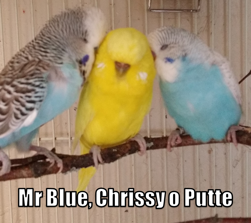 Undulater Mr Blue Chrissy och Putte